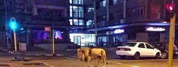 É #FAKE que governo russo soltou leões nas ruas para amedrontar a população e fazê-la ficar em casa por conta do coronavírus